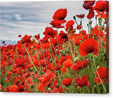 Waving Red Poppies Canvas Print by Jean Noren