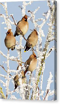 Waxwings And Hoar Frost Canvas Print
