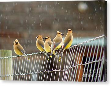 Waxwings In The Rain Canvas Print