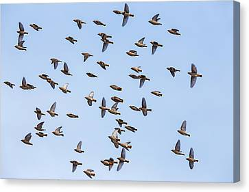Canvas Print featuring the photograph Waxwings by Mircea Costina Photography