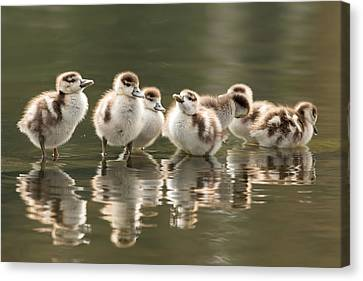 We Are Family - Seven Egytean Goslings In A Row Canvas Print by Roeselien Raimond