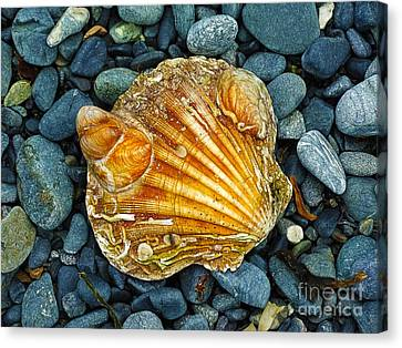 Weathered Scallop Shell Canvas Print