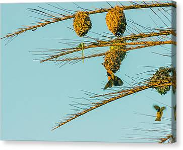 Weaver Birds Canvas Print by Patrick Kain
