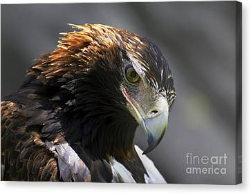 Wedge Tail Eagle Canvas Print by Bill  Robinson