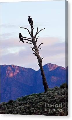 Wedge Tail Eagles Canvas Print by Bill  Robinson