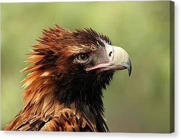 Canvas Print featuring the photograph Wedge-tailed Eagle by Marion Cullen