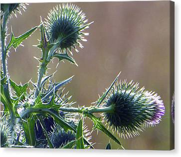 Weed Flower 5 Of 5 Canvas Print by Tina M Wenger
