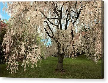Cherry Blossoms Canvas Print - Weeping Asian Cherry by Jessica Jenney