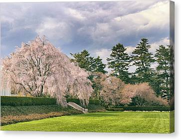 Threatening Canvas Print - Weeping Cherry In Bloom by Jessica Jenney