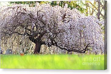 Weeping Japanese Cherry Tree Canvas Print by Charline Xia