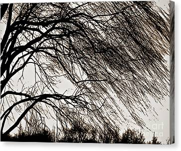 Weeping Willow Tree  Canvas Print by Carol F Austin