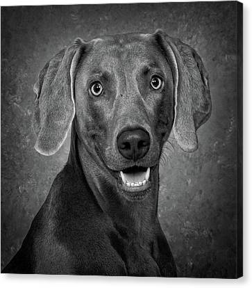 Canvas Print featuring the photograph Weimaraner In Black And White by Greg Mimbs