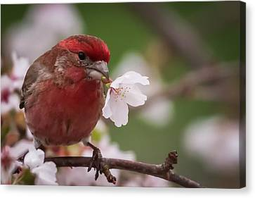 Welcome Spring House Finch With Flower Canvas Print