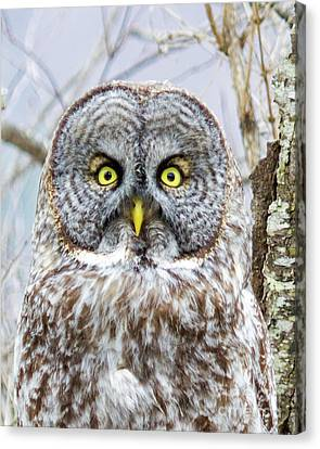 Well Hello - Great Gray Owl Canvas Print by Lloyd Alexander