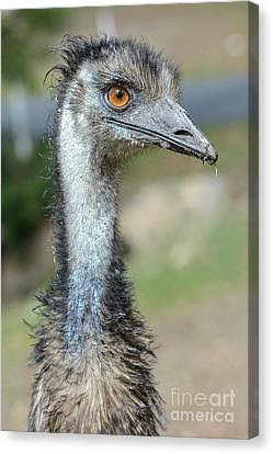 Emu 2 Canvas Print by Werner Padarin