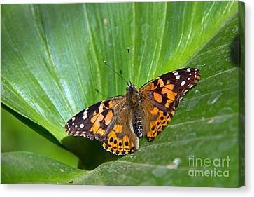 West Coast Lady Butterfly Canvas Print by Kelly Holm