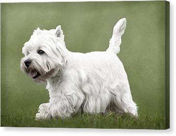 Canvas Print featuring the photograph West Highland Terrier Trotting by Ethiriel  Photography