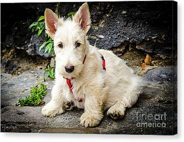 West Highland White Terrier #1 Canvas Print by Julian Starks