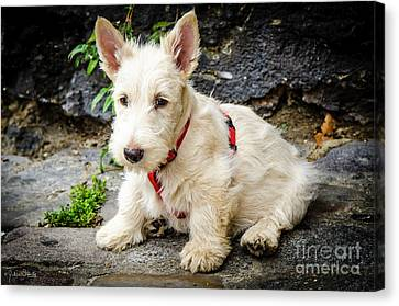West Highland White Terrier #2 Canvas Print by Julian Starks