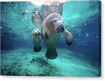 No People Canvas Print - West Indian Manatees by James R.D. Scott