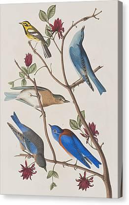 Warbler Canvas Print - Western Blue-bird by John James Audubon