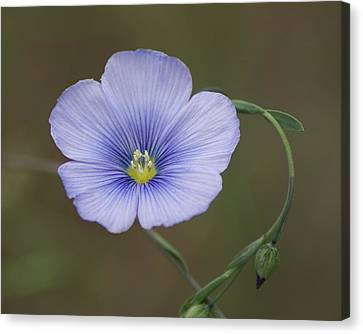 Canvas Print featuring the photograph Western Blue Flax by Ben Upham III