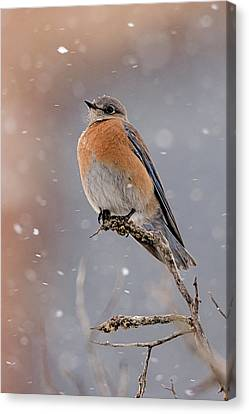 Western Bluebird In Winter Canvas Print