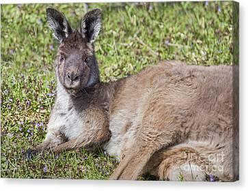 Western Gray Kangaroo Canvas Print by Twenty Two North Photography