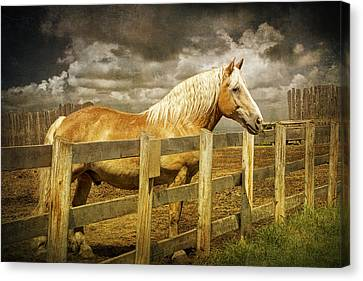 Western Horse In Alberta Canada Canvas Print by Randall Nyhof