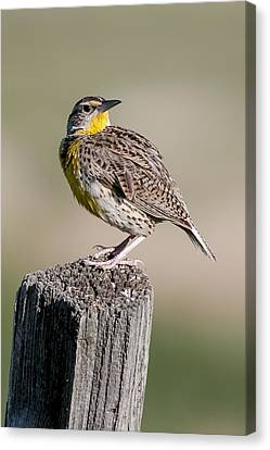 Canvas Print featuring the photograph Western Meadowlark by Gary Lengyel