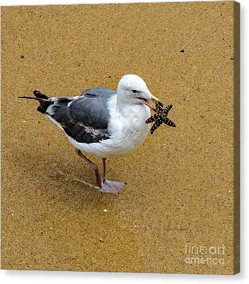 Western Seagull Carrying A Starfish Canvas Print