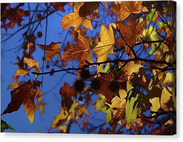 Western Sycamore Color Changing Canvas Print by Ernie Echols