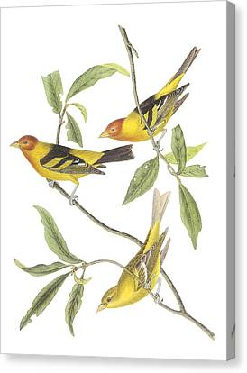 Western Tanager Canvas Print by John James Audubon