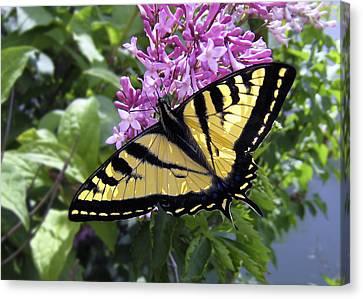 Western Tiger Swallowtail Butterfly Canvas Print by Daniel Hagerman
