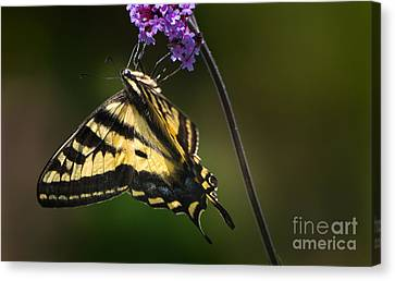 Western Tiger Swallowtail Butterfly On Purble Verbena Canvas Print