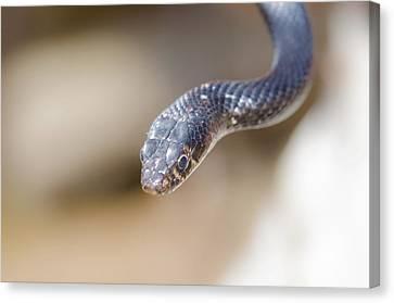 Western Whip Snake Canvas Print