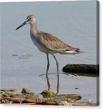 Western Willet Canvas Print by Kala King