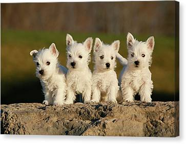Westies On The Rock Canvas Print by Celso Mollo Photography