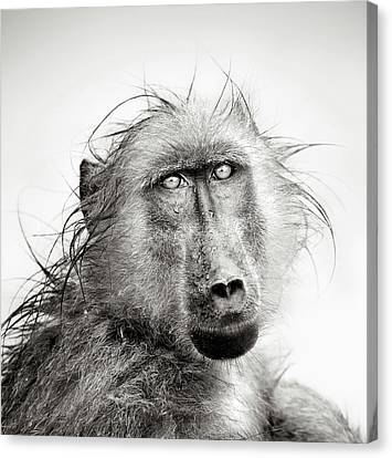 Wet Baboon Portrait Canvas Print