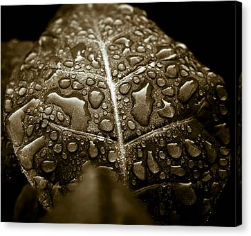 Wet Havana Tobacco Leaf Canvas Print by Frank Tschakert