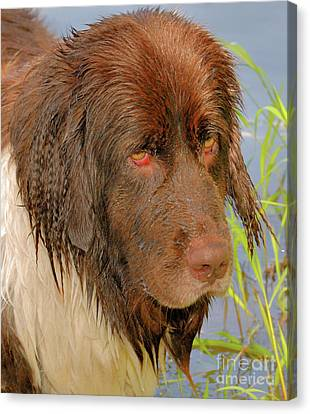 Canvas Print featuring the photograph Wet Newfie by Debbie Stahre