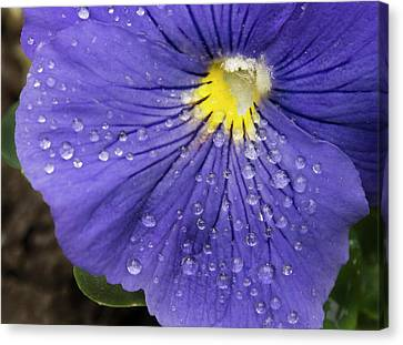 Canvas Print featuring the photograph Wet Pansy by Jean Noren