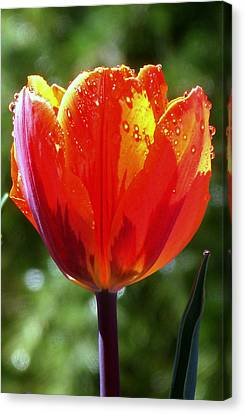 Wet Tulip Canvas Print by Rona Black