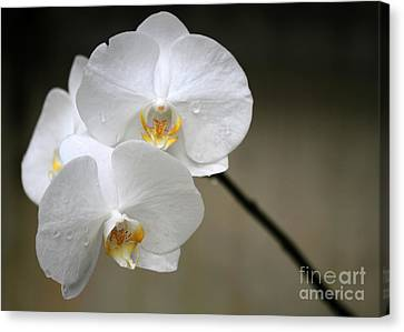Wet White Orchids Canvas Print