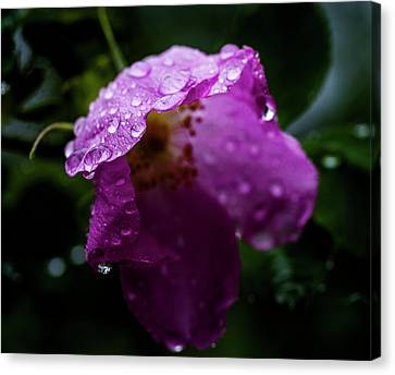 Canvas Print featuring the photograph Wet Wild Rose by Darcy Michaelchuk