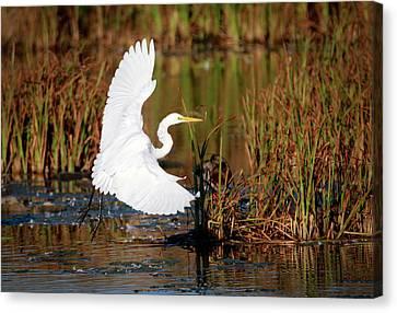 Wetland Landing Canvas Print by Ray Congrove