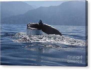 Whale Fluke Canvas Print by Nicola Fiscarelli
