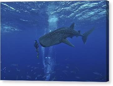 Whale Shark And Diver, Maldives Canvas Print by Mathieu Meur