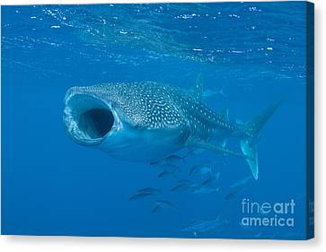 Water Filter Canvas Print - Whale Shark, Ari And Male Atoll by Mathieu Meur