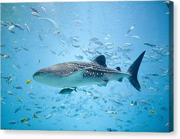 Whale Shark Swimming In Aquarium Canvas Print by Stephen Marks